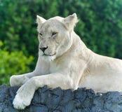 与看在旁边在领域的一头白色狮子的图片 免版税库存图片