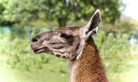 与看在旁边在领域的骆马的背景 免版税库存照片