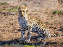 与看摄影师的密集的眼睛的美丽的幼小豹子waterhole,克留格尔国家公园,南非 图库摄影