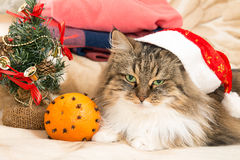 与看照相机的圣诞老人红色帽子的新年猫 库存照片