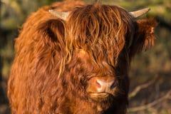与看照相机的面孔的苏格兰高地居民母牛 免版税图库摄影