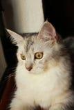 与看的眼睛的特写镜头波斯猫外面 库存图片
