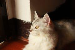 与看的眼睛的白色波斯猫外面 免版税库存图片
