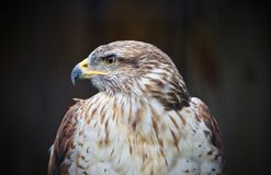 与看的鹰的背景在旁边某处 库存照片
