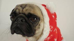 与看起来圣诞老人的服装的哈巴狗哀伤 免版税图库摄影