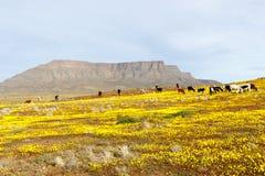与看起来backgr的桌山的山的牛 图库摄影