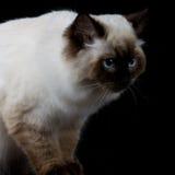 与看边的蓝眼睛的布朗白色猫 免版税库存照片