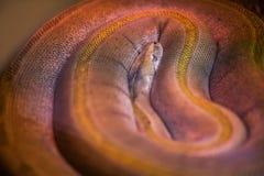 与真珠质皮肤的大野生蛇在defferent颜色 库存照片