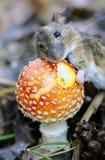 与真菌的老鼠 库存照片