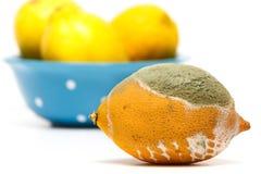 与真菌的被损坏的柠檬在白色背景 库存图片