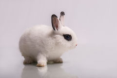 与眼影膏的逗人喜爱的白色兔子 免版税库存图片
