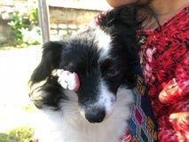 与眼感染的狗 眼睛是损伤和胀大 库存照片