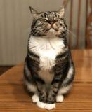 与眼睛的虎斑猫关闭了 免版税库存图片