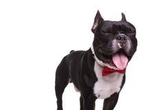 与眼睛的滑稽的法国牛头犬关闭了和被暴露的舌头 库存图片