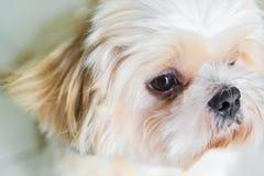 与眼睛等待的爱犬 免版税库存照片