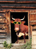 与眼睛玻璃的滑稽的母牛在牛棚门 免版税库存图片