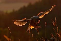 与着陆猫头鹰的晚上光 与被涂的翼的谷仓猫头鹰飞行在树桩晚上 从自然的野生生物场面 鸟o 免版税图库摄影