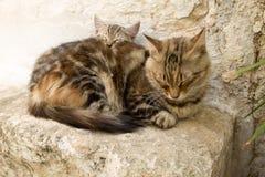 与睡觉在地面上的妈咪的小猫 图库摄影