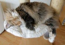 与睡觉在猫树的白色缅因浣熊的蓝色tortie平纹 库存照片