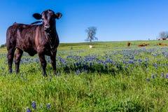 与矢车菊和黑安格斯母牛的一个美好的领域 库存照片