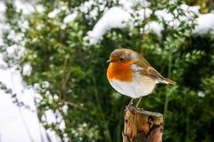 与知更鸟的圣诞节场面在多雪的背景 库存图片
