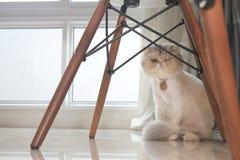 与短发,明亮的眼睛的一只异乎寻常的猫,愉快在家 免版税库存图片