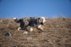 与短的外套的有胡子的大牧羊犬在行动,侧视图 库存照片