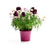与矮小的黑郁金香的桃红色雏菊延命菊在花盆我 库存图片