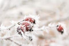 与石南木和霜针的冻结的分支 免版税库存图片