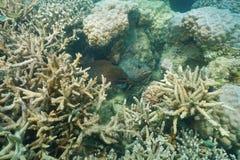 与石斑鱼鱼珊瑚礁的水下的海鳝 库存图片
