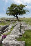 与石灰石路面的孤立树 库存图片