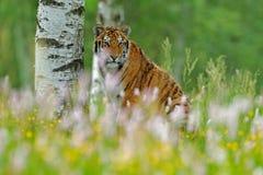 与砰和黄色花的老虎 东北虎在美丽的栖所 坐在草的阿穆尔河老虎 行动野生生物夏天s 库存照片