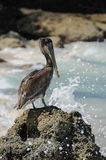 与碰撞在岩石的波浪的常设鹈鹕。哥伦比亚。Playa布朗卡哥伦比亚,加勒比。 免版税图库摄影