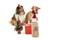 与礼物的狗 免版税图库摄影