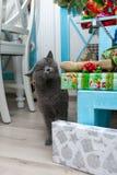 与礼物的猫 在树下 球圣诞节查出的心情三白色 在公寓的一只猫 免版税库存照片