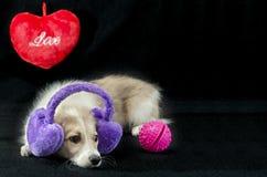 与礼物的滑稽的小狗在华伦泰` s天 免版税库存图片
