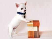 与礼物盒的微型奇瓦瓦狗小狗 库存图片
