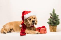 与礼物盒的美国美卡犬 库存照片
