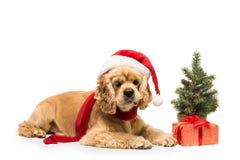 与礼物盒的美国美卡犬 图库摄影