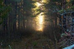 与神秘的早晨太阳光线影响的剧烈的幻想森林风景 雾在水的草甸早晨 库存图片