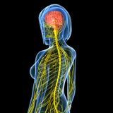 与神经系统的女性脑子解剖学 库存照片