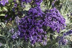 与福禄考subulata `鲜绿色蓝色`野生甜威廉夺目的早期的春天野花的自然花卉背景 Cre 库存照片