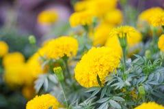与秀丽的黄色万寿菊 免版税库存照片