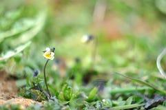 与秀丽bokeh,在蝴蝶花的选择聚焦的夏天自然本底 库存图片