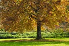 与秋叶的大结构树 库存照片