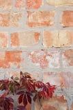 与秋叶的庭院狂放的葡萄在砖墙上 免版税库存照片