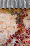 与秋叶的庭院狂放的葡萄在砖墙上 库存图片