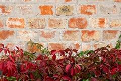 与秋叶的庭院狂放的葡萄在砖墙上 库存照片