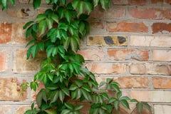 与秋叶的庭院狂放的葡萄在砖墙上 免版税图库摄影