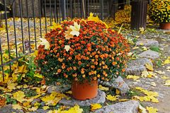 与秋叶的橙色菊花在罐 免版税库存照片